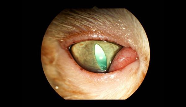 ひと目で瞬膜腺が突出しているのがわかります