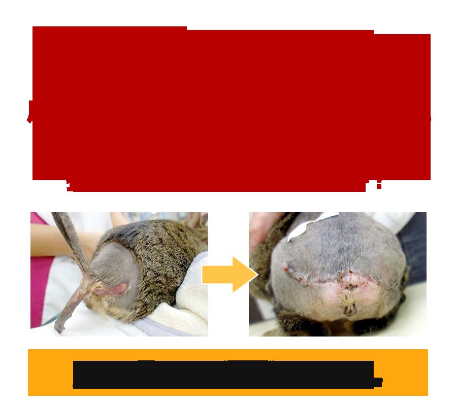 なぜ、尾の皮膚が全て剥離し、臀部にかけて広範囲な皮膚損傷を負い、さらにウジ虫5匹に寄生されていた猫が、16病日後には抜糸できるほど治癒したのか?